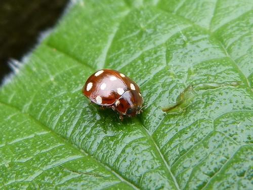 Calvia quattuordecimguttata (Cream-spot Ladybird) Tophill Low NR, East Yorkshire 2013