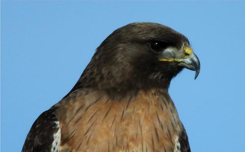 Buteo Jamaicencis (Red-tailed Hawk)