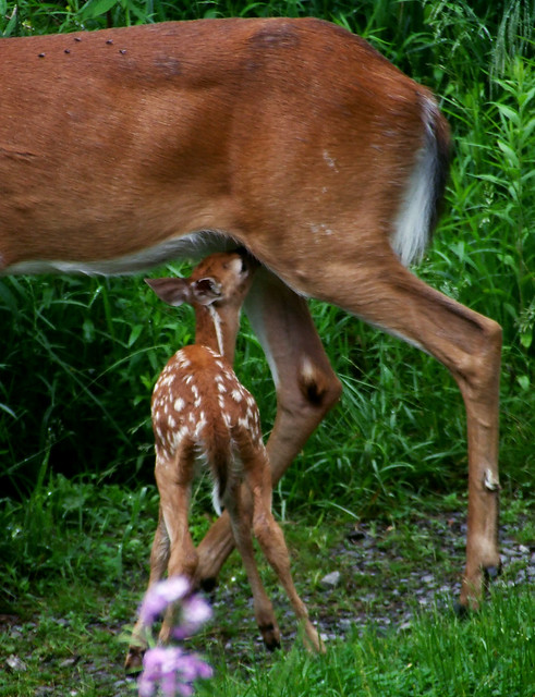 mother deer and fawn 3