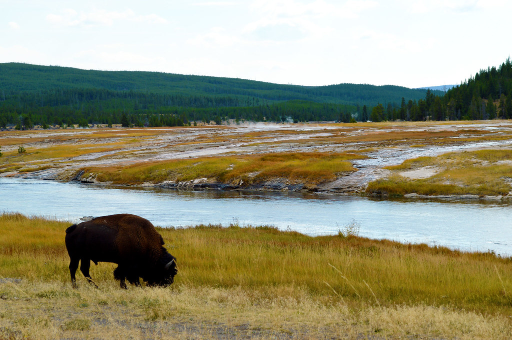 bison in Yellowstone