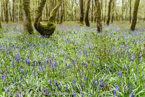Bluebells Revisited