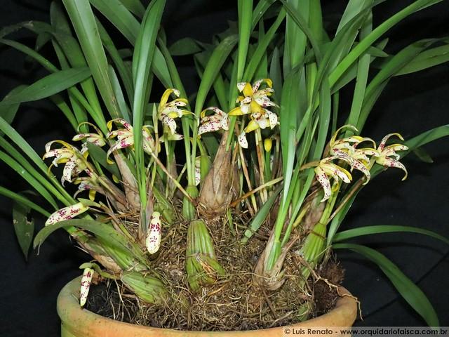 1423 - Maxillaria picta