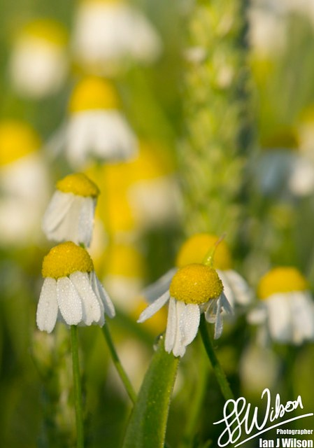 Daisy Dew Drops – Daily Photo (14th July 2012)
