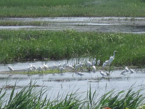 Egrets, Bombay Hook NWR