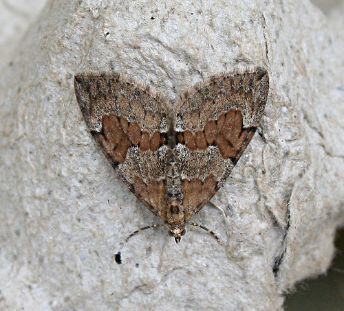 Grey Pine Carpet Thera obeliscata Tophill Low NR, East Yorkshire May 2013