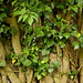 Old Growth Ivy