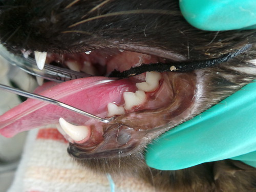 Zorro dental