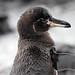 Galapagos Penguin (Spheniscus mendiculus)