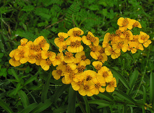 Tagetes lucida, the Sweetscented Marigold