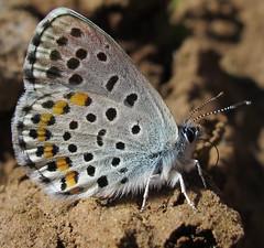 Bavius Blue - Pseudophilotes bavius s