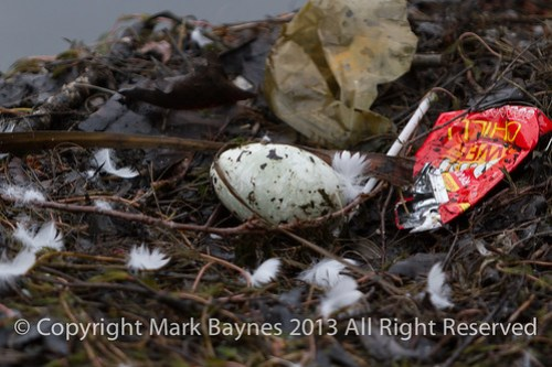 Swan egg, Wapping Canal