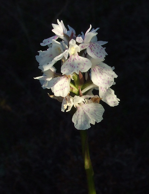white orchid on moor