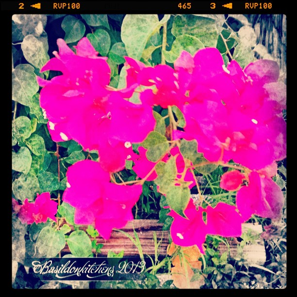 Sep 25 - spring/fall flowers {Bougainvillea has started blooming this week} #photoaday #flower #florida