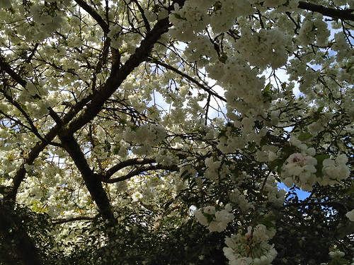 White Cherry Blossoms by DRheins