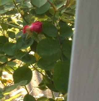 First Rose of 2012