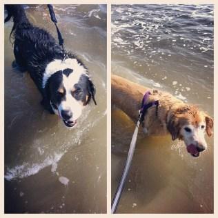 Madden and Coach enjoying a Galveston beach swim.