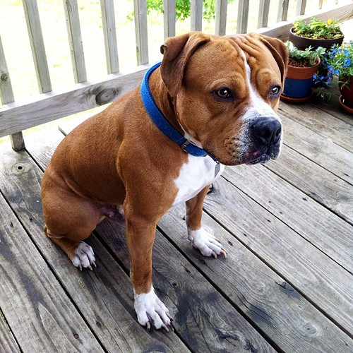 Anybody want a friendly, not neutered bull mix? He wandered up to our house in North-west Lawrence. Called the number on the tag, vet returned our call saying the people listed will not claim him. Vet also said this is the 2nd time in a month that he has