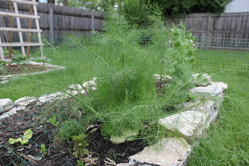20120509. First attempts at fennel.