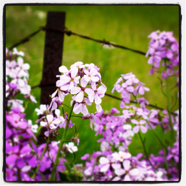 May 24 - mayflowers {just starting to bloom on the side of the road} #photoaday #flowers #barbedwire #princeedwardcounty