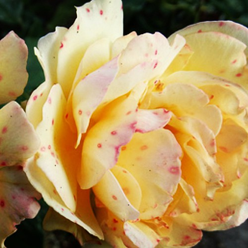 Love this #rose at Butchart Gardens by @MySoDotCom