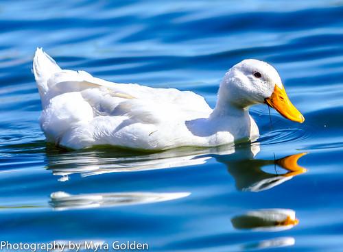 White Duck on Bass Pro Shops Lake by Myra Golden