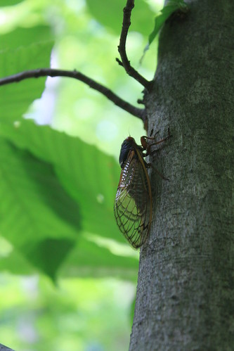 Memorial Day 2013 - Cicada on Beech