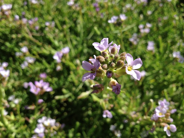 Light purple searocket flowers