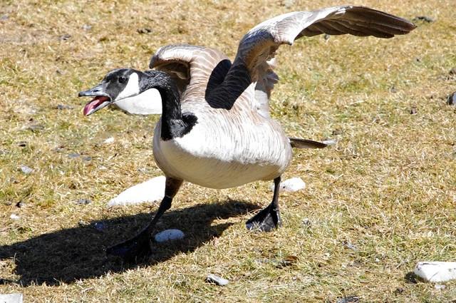 Really angry bird!