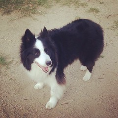 早くボール投げてよ〜!          Throw the ball now! 2013.8.1 (木) #おはようございます #goodmorning #犬バカ部 #dogstagram #dogoftheday #ボーダーコリー  #白黒 #bnw #bordercollie #パトン #ぱとん #patong #japan #ilovemydog #夏 #summer