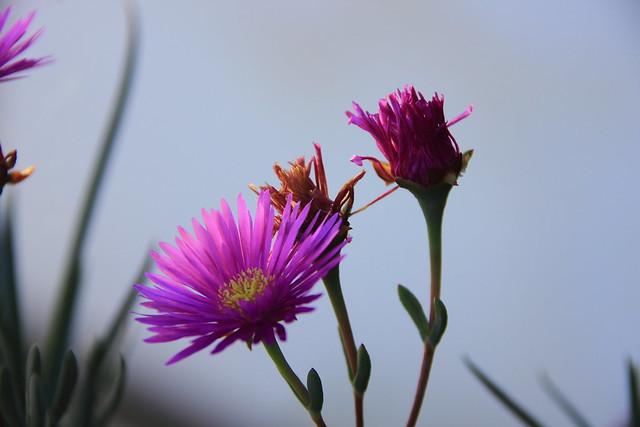 Lamprantus rosa #Photography  #Foto 41