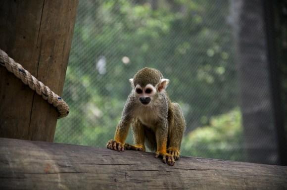 Handsome titi monkey