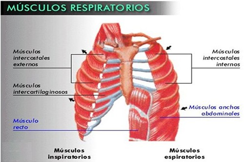 Músculos Respiuatorios