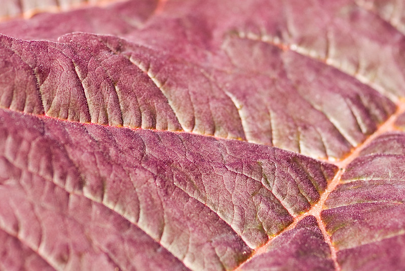 rhubarb leaf