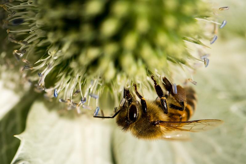 Honey Bee on Sea Holly
