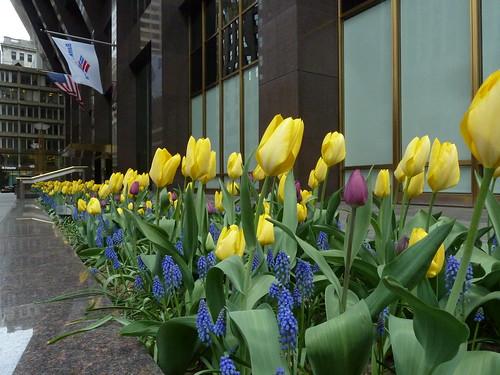 Tulips in Boston MA