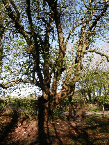 The huge, gnarly horse chestnut