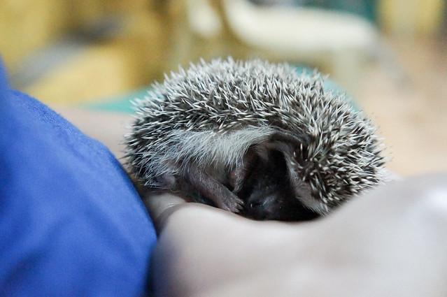 Botan the Hedgehog curled and sleeping
