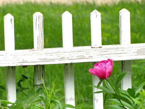 White Picket Fence & A Peony