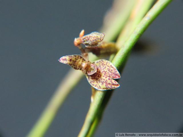 1424 - Pleurobotryum crepinianum