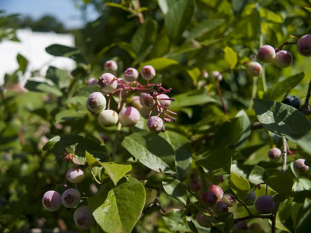 Ripening Blue Berries