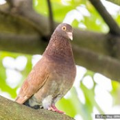 Rock Pigeon or Rock Dove (Columba livia)_DSC7431-1