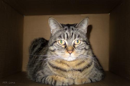 Boxed Cat