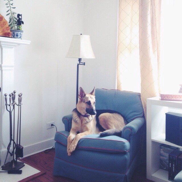 Portrait of a lady. #germanshepherd #vscocam