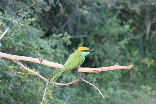 20130120_8172-bee-eater