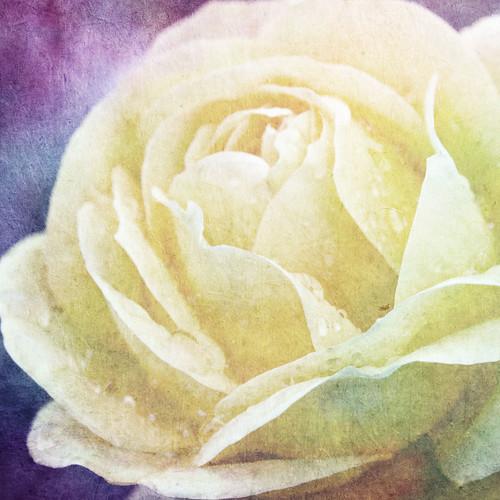 Saturday's Rose