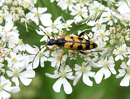 Black and Yellow Longhorn Beetle Rutpela maculata Tophill Low NR, East Yorkshire June 2013