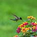 Hummingbird Feeding on Lantana_DSC3379