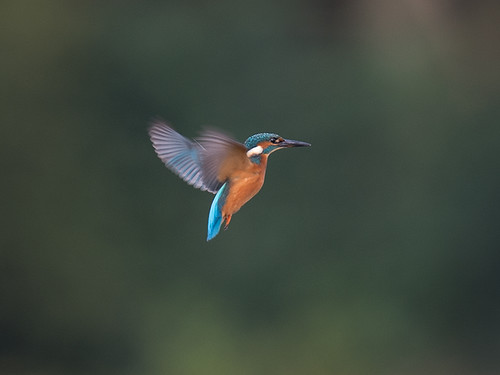 Kingfisher hover_3