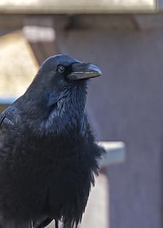 Santa Cruz Island: Common Raven