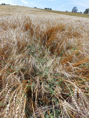 Buckwheat in our wheat field